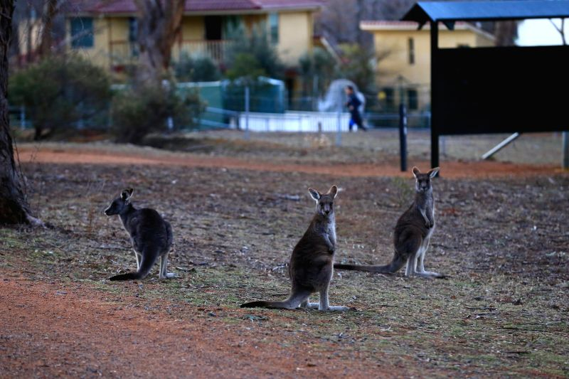 CANBERRA, July 31, 2018 - Photo taken on July 31, 2018 shows kangaroos near the residential areas at the foot of Mount Ainslie, which was only about 10 minutes' drive to the city center of Canberra, ...