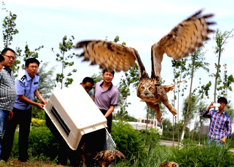Volunteers from a wildlife rescue center release eagle owls back into the wild after they fully recovered, in Cangzhou, north China's Hebei Province, July 10, ...