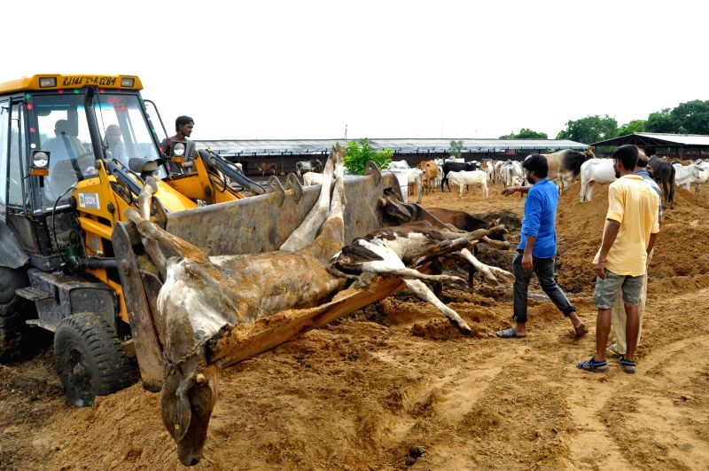 Carcasses of dead cows being taken away from Hingonia Gaushala on the outskirts of Jaipur on Aug. 6, 2016.