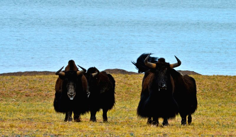 Photo taken on June 27, 2014 shows wild yaks at Chang Tang Nature Reserve, southwest China's Tibet Autonomous Region. Thanks to preservation ...