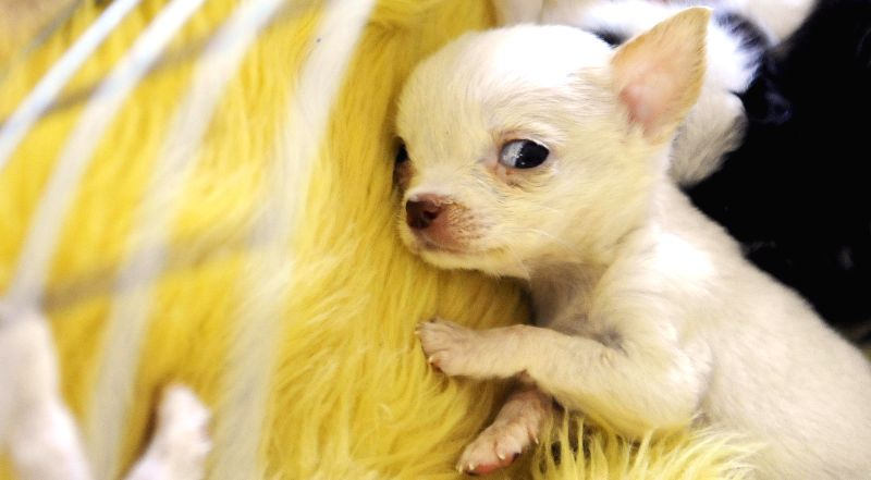 Photo taken on Aug. 19, 2014 shows a pocket Chihuahua at the 13th China Changchun Agricultural Expo in Changchun, capital of northeast China's Jilin Province. ...
