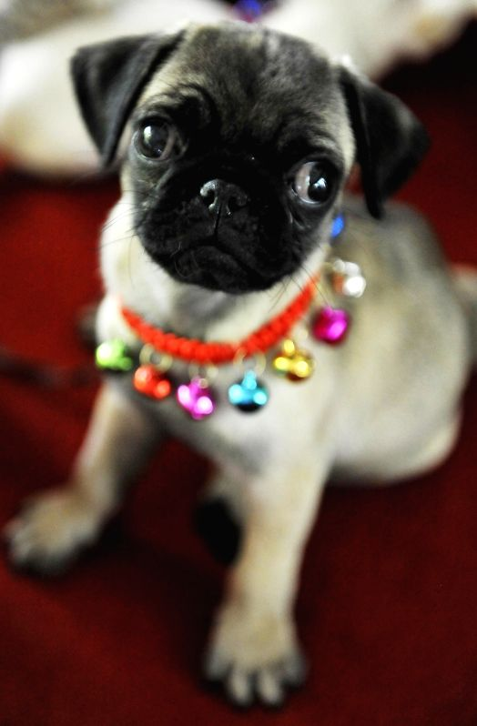Photo taken on Aug. 19, 2014 shows a pug puppy at the 13th China Changchun Agricultural Expo in Changchun, capital of northeast China's Jilin Province. ...