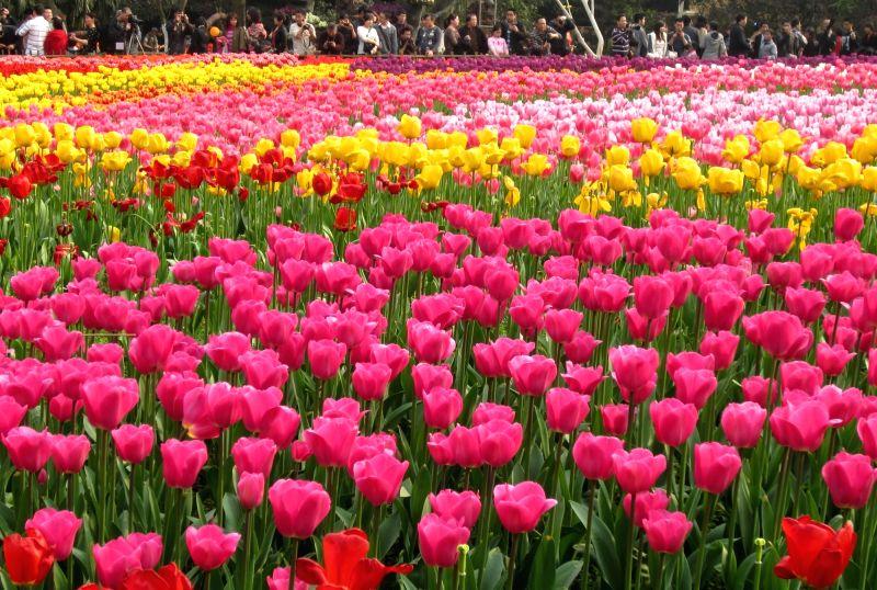 CHANGCHUN, May 11, 2016 - Shutterbugs take photos of blooming tulips at Changchun Park in Changchun,capital of northeast China's Jilin Province, May 11, 2016.