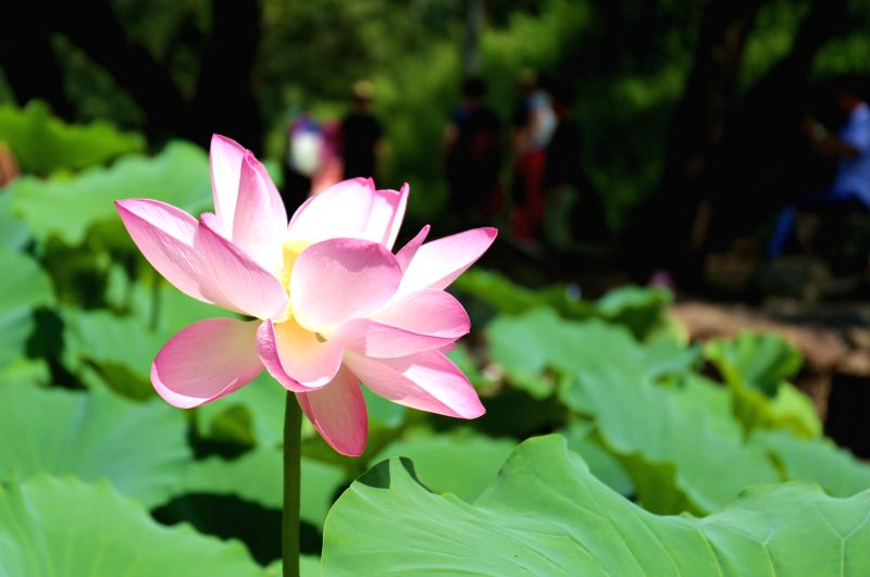 CHENGDE, Aug. 3, 2017 - Photo taken on Aug. 3, 2017 shows a lotus flower in Chengde Mountain Resort, an UNESCO World Cultural Heritage, in Chengde City, north China's Hebei Province. Chengde Mountain ...