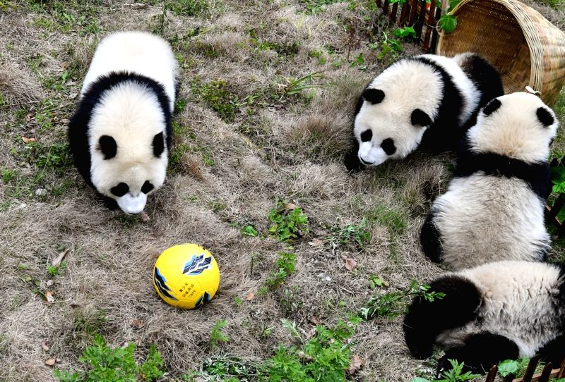 CHENGDU, June 14, 2018 - Giant pandas less than one year old take part in a football-themed party at the Shenshuping base of the Wolong giant panda protection and research center in southwest China's ...