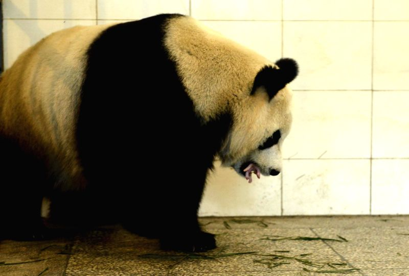 Giant panda Qing Qing carries her newly-born cub in the mouth at the Bifengxia Base of China Giant Panda Protection and Research Center in Ya'an City, southwest ...