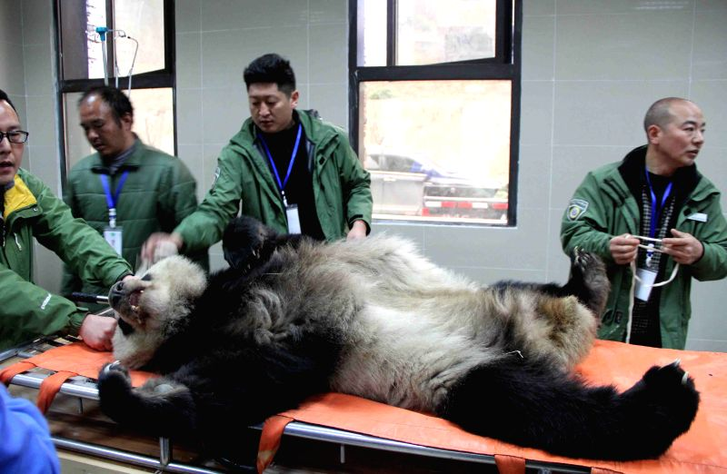 An ill wild giant panda receives medical checkup at a veterinary hospital in the Shenshuping base of the Chinese giant panda protection research center in the ...