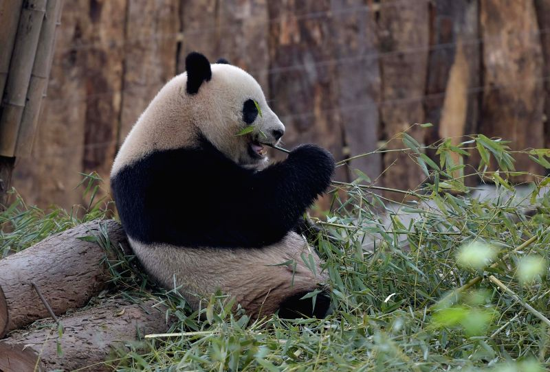 Photo taken on March 31, 2015 shows giant panda Shurong at the Chengdu Research Base of Giant Panda Breeding in southwest China's Sichuan Province. A pair of giant ...