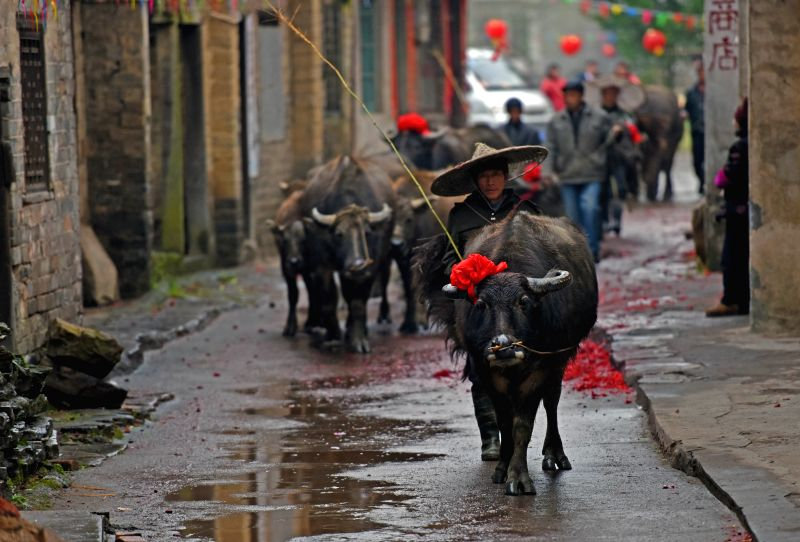 Cattle tied with red flowers walk on a lane in Zhengyuan Village of Qidu Township in Chenzhou City, central China's Hunan Province, March 3, 2015. Local villagers, ...
