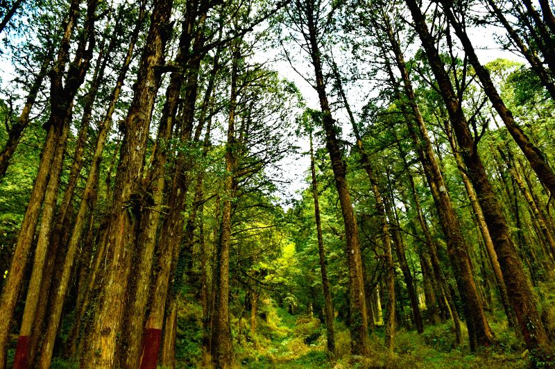 CHIAYI, April 10, 2016 (Xinhua) -- Photo taken on April 9, 2016 shows China fir forests on Ali Mountain in Taiwan, southeast China. (Xinhua/Zhang Guojun/IANS)