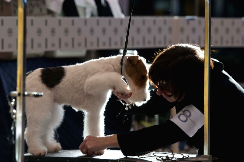 An owner prepares her dog for the competition during the international dog show in Chicago, the United States, on Jan. 30, 2015. The 2015 International Dog Show ...