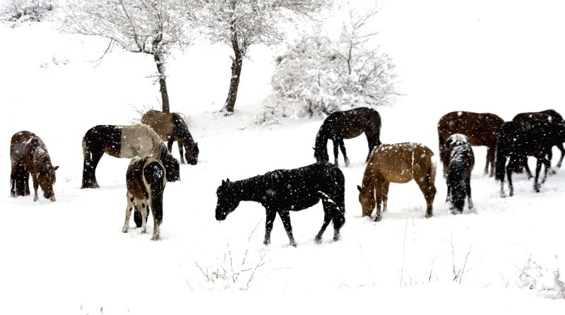 Horses graze in snow in Hexigten Banner, north China's Inner Mongolia Autonomous Region, May 7, 2014.