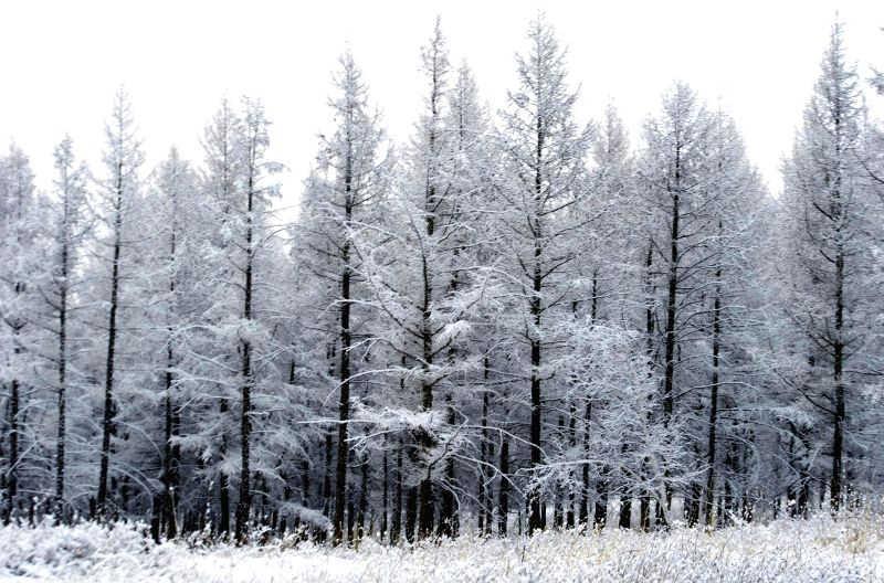 Photo taken on May 7, 2014 shows the snow scenery of a forest in Hexigten Banner, north China's Inner Mongolia Autonomous Region.