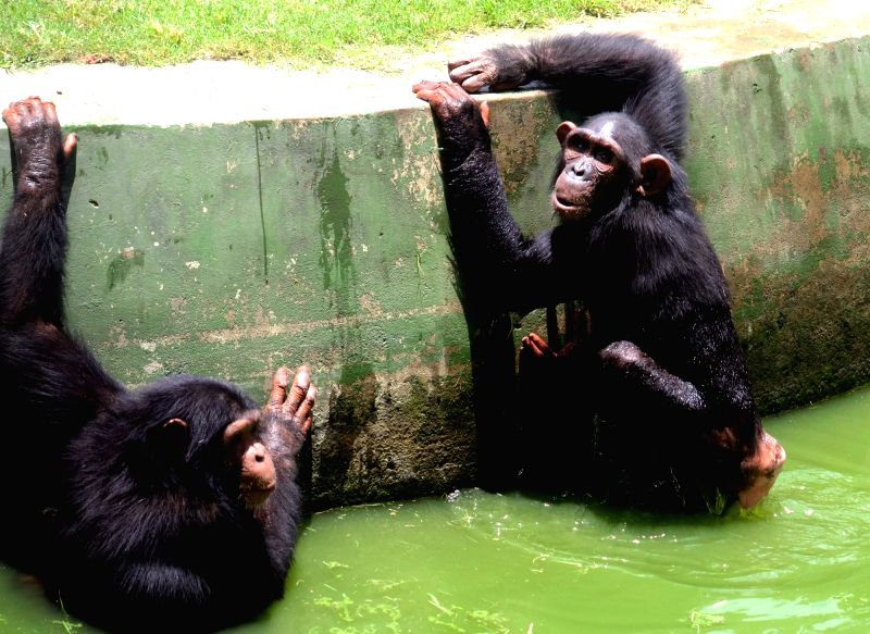Chimpanzees play in their enclosure at Alipore Zoological gardens in Kolkata, on June 7, 2018.