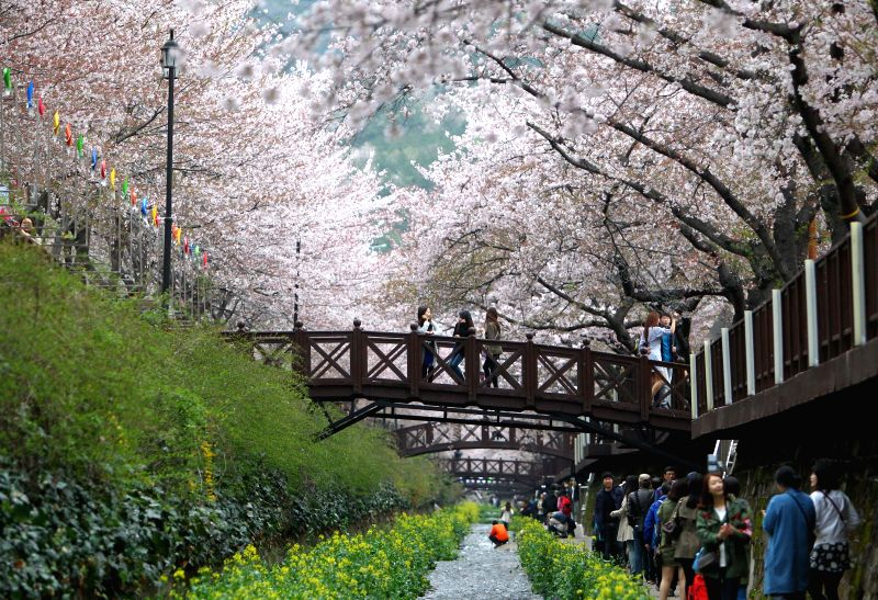 People stroll under cherry blossom trees during Chinhae Cherry Blossom Festival in Chang Won, southern city of South Korea, on April 7, 2015. The Chinhae Cherry ...