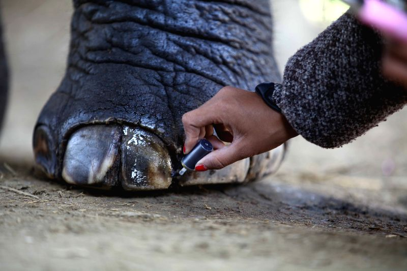 A woman polishes nails of an elephant before the Elephant Beauty Pageant during the 11th Elephant Festival in Sauraha, Chitwan, Nepal, on Dec. 28, 2014. ...