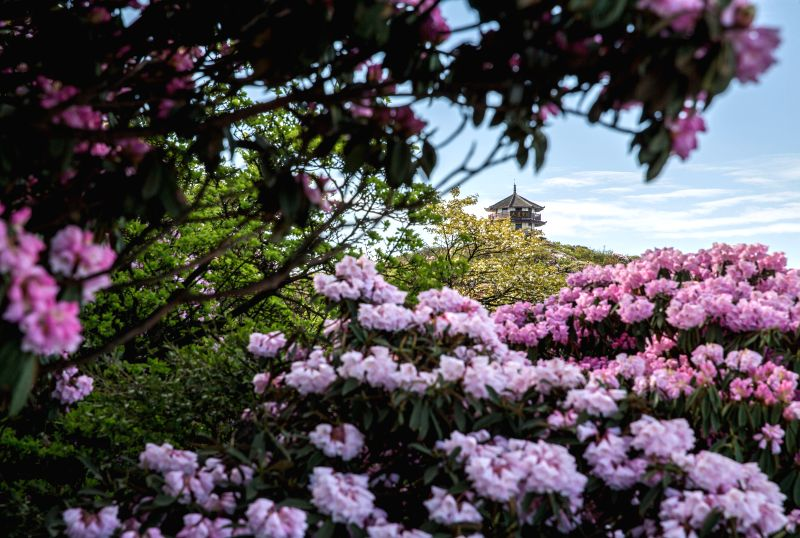 CHONGQING, May 9, 2017 - Azalea flowers are in full blossom on Jinfo Mountain in Chongqing, southwest China, May 8, 2017.