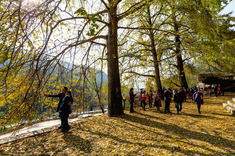CHONGQING, Nov. 28, 2017 - Tourists enjoy the scenery under ginkgo trees at Yinxing Village of Delong Township, southwest China's Chongqing Municipality, Nov. 26, 2017.