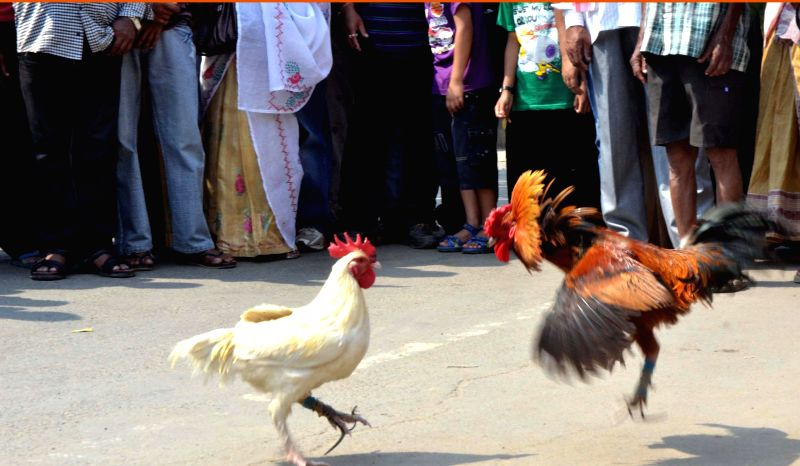 Cock-fight during a Bihu celebration in Sivasagar of Assam on April 16, 2014.