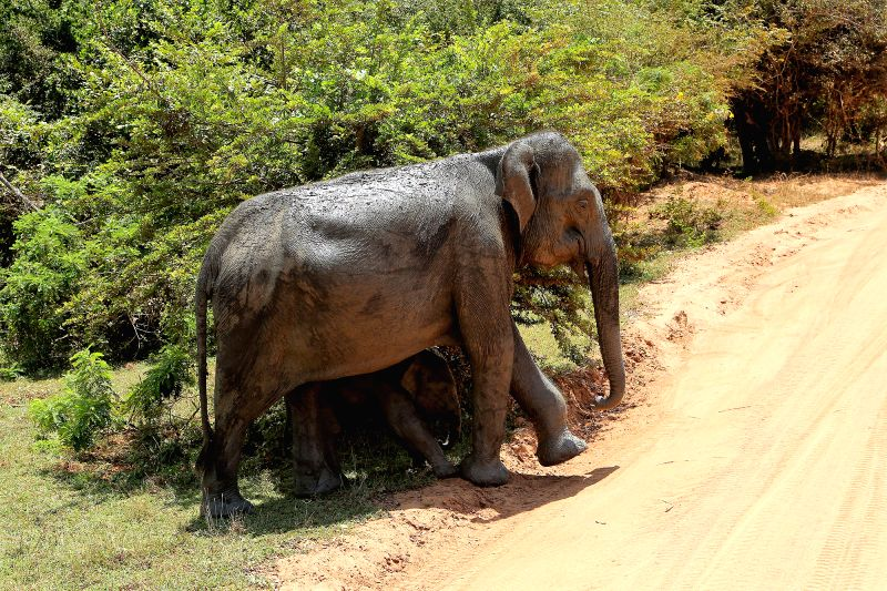 COLOMBO, May 4, 2017 - An elephant with its calf is seen crossing the road to reach out to a nearby pond to satisfy their thirst in the scorching heat at Sri Lanka's Yala Wildlife National Park on ...