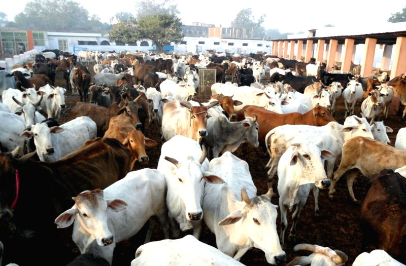 Cows at a cowshed. (File Photo: IANS)