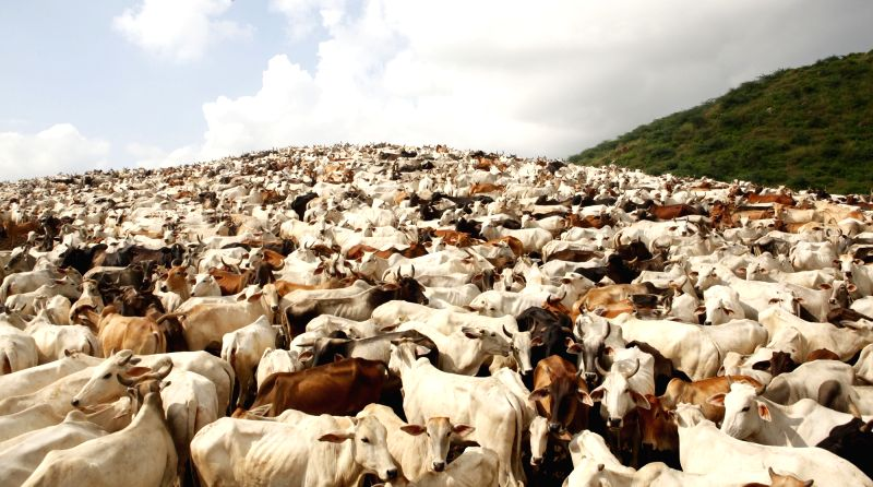 Cows at a cowshed in Mathura. (File Photo: IANS)