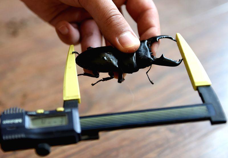Fang Hang measures a dorcus titanus in Dalian, northeast China's Liaoning province, Aug. 1, 2014. Fang, a beetle enthusiast from northeast China's Dalian, has been ...