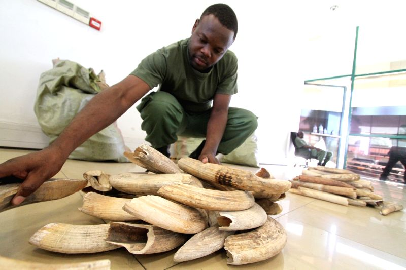DAR ES SALAAM, Jan. 30, 2018 - An officer arranges piles of hippo teeth at the headquarters of the Ministry of Natural Resources and Tourism in Dar es Salaam, Tanzania, on Jan. 29, 2018. A Tanzanian ...