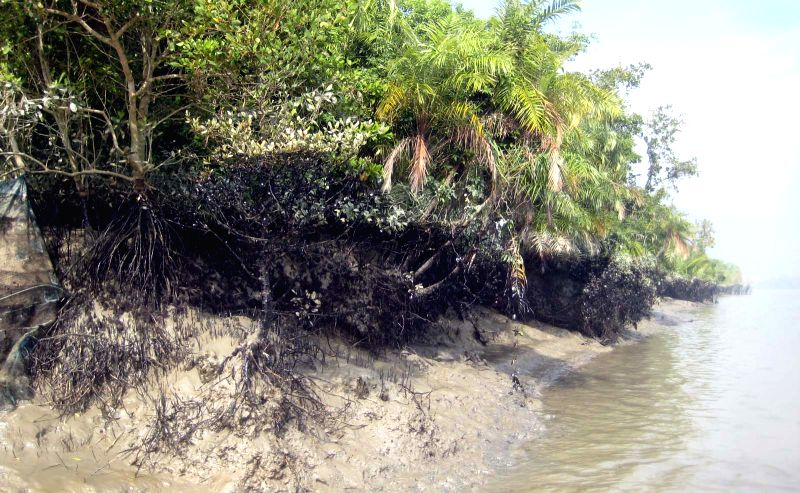 Part of oil covered mangrove forest is seen in the Shela River in Bangladesh, on Dec. 13, 2014. A 50-km oil slick coated the Shela River flowing through the ...