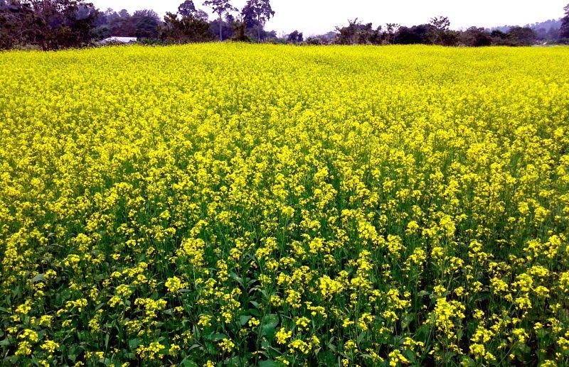 A mustard field in full bloom in Dharmanagar of North Tripura on Jan 2, 2015.