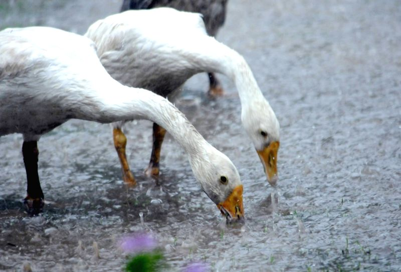 Ducks enjoy during rains, in Patna on July 28, 2018.