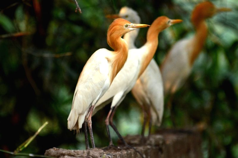 Egret birds perched on a tree in Nagaon of Assam.