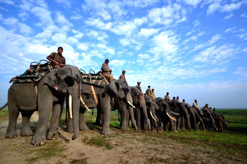 Elephants on the opening day of Elephant Safari at the Kaziranga National Park in Bokakhat district of Assam on Nov 1, 2015.