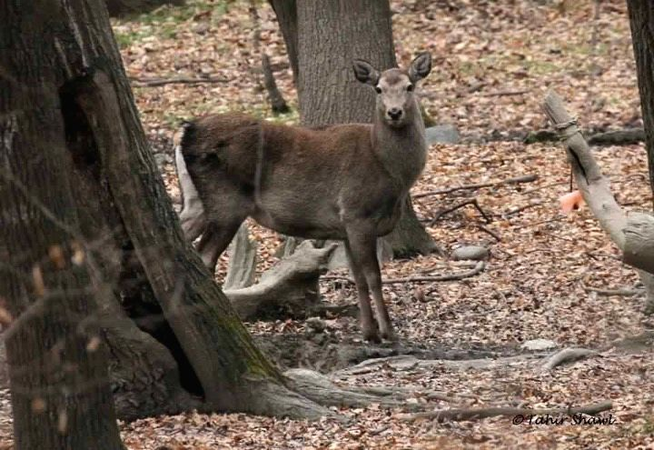 Endangered Kashmir deer, popularly known as hangul, faces extinction