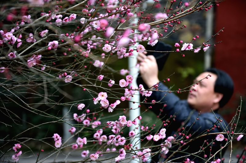 A man takes pictures of plum blossom in Enshi Tujia-Miao Autonomous Prefecture, central China's Hubei Province, Jan. 19, 2015. Though it's chilly winter in many parts