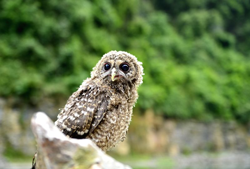 ENSHI, May 29, 2016 - An owl fledgling looks on at Shiziguan senic spot, a breeding area for owls, in Xuan'en County, central China's Hubei Province, May 29, 2016.