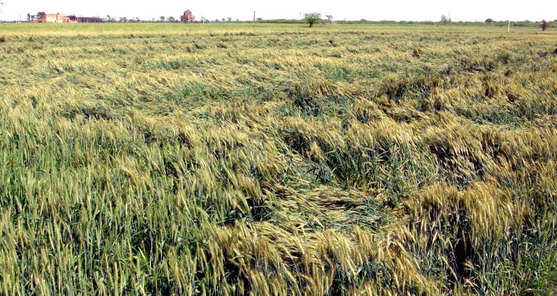 A view of crops damaged in the recent storm in the fields of Faridabad of Haryana on March 2, 2015.