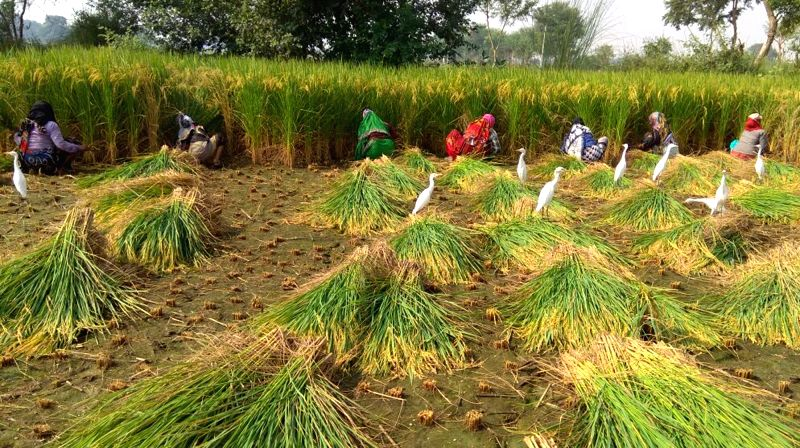 Farm labourers busy reaping paddy in a field near Mathura on Oct 11, 2017.