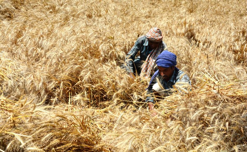 Farmers at work in a field of Amritsar on May 1, 2014.