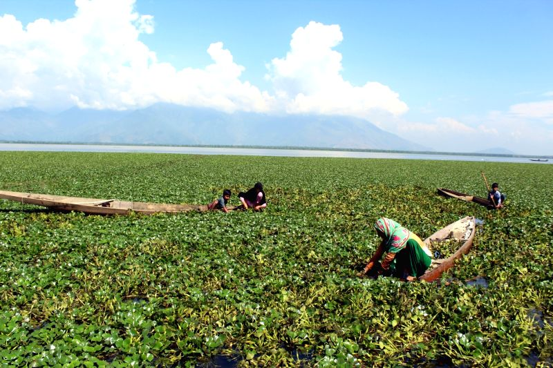 Farmers busy plucking water chestnuts from Wular Lake at Bandipora, in Jammu and Kashmir, on Aug 7, 2018.