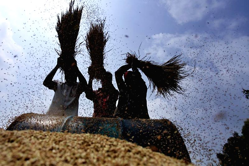 Farmers busy thrashing paddy in a field of Panabo in Rupganj of Narayanganj district of Bangladesh on April 29, 2014.