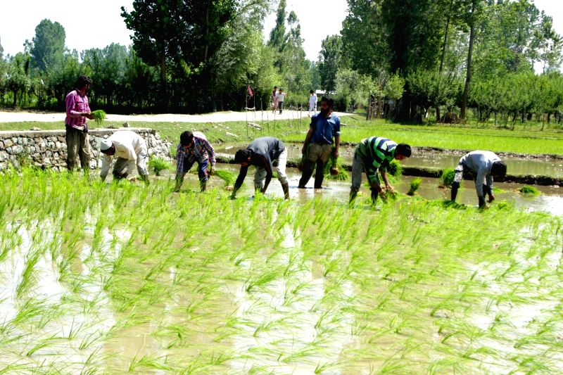 Farmers busy working in their fields in Sopore of Jammu and Kashmir on June 4, 2017.