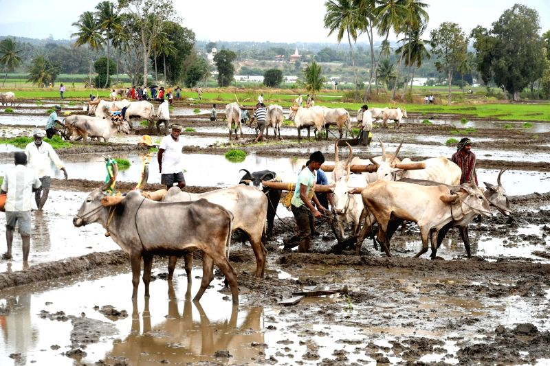 Farmers cultivating before transplanting the first paddy crop of the monsoon season at the Sitapura village in the Mandya district of Karnataka on Aug 11, 2018.