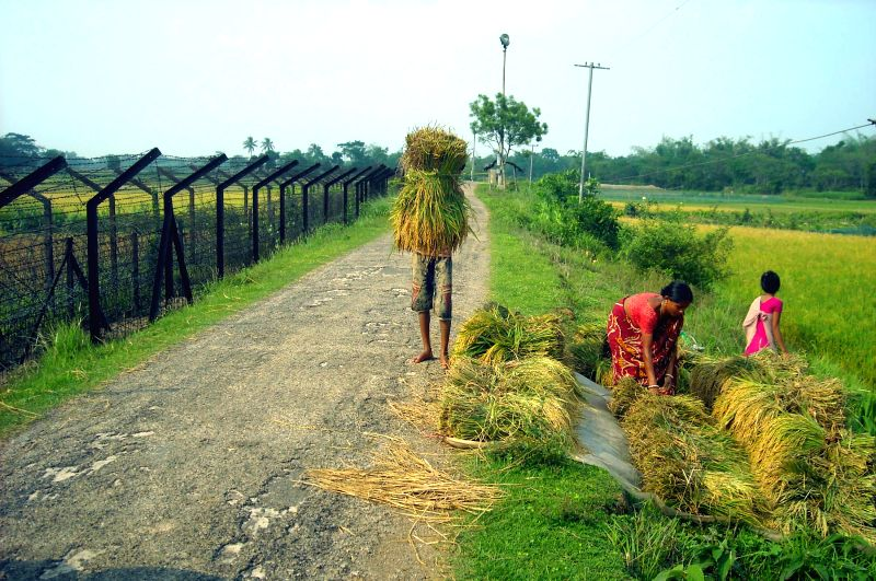 Farmers harvest paddy near Indo-Bangladesh border in Kamalpur area of Tripura's Dhalai district on May 15, 2014.  Tension prevails in the area after Indian farmers were allegedly prevented from ...