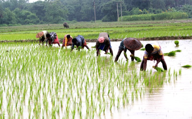 Farmers paddy sapling at a village near Balurghat in South Dinajpur district of West Bengal on July 22, 2016.