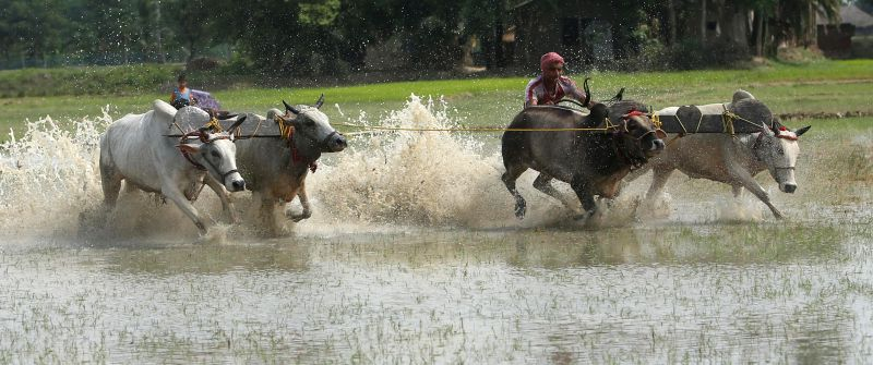 Farmers participate in an annual three day bull race at Altakhali village in West Bengal's South 24 Parganas on July 7, 2014.