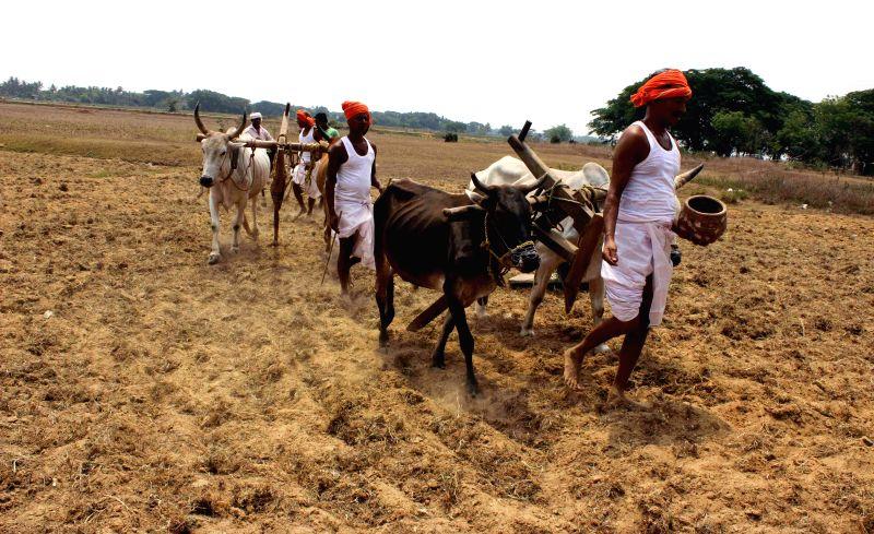 Farmers perform 'akhi muthi anukula' on Akshaya Tritiya in the outskirts of Bhubaneswar on May 2, 2014.