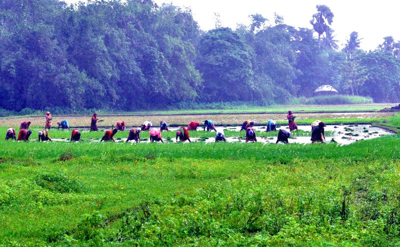 Farmers plant paddy sapling in a field, in Hooghly district of West Bengal on Sept 4, 2014.