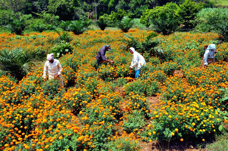 Farmers plucking merry gold flowers from their farm before dispatching it to the local market on the Goa Karnataka Border at Chorla on May 10, 2014.