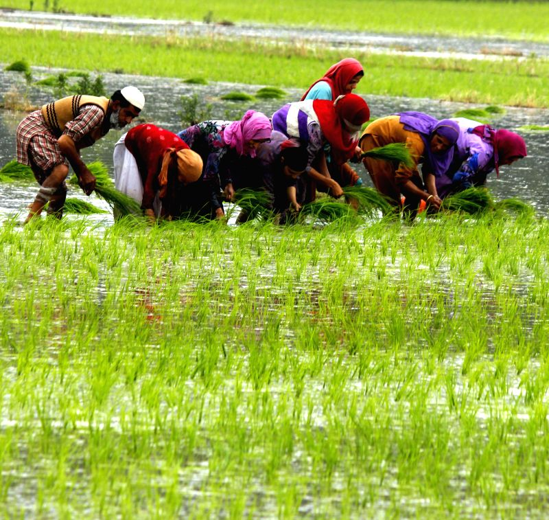 Farmers sowing paddy in Anantnag, Jammu and Kashmir on June 17, 2014.